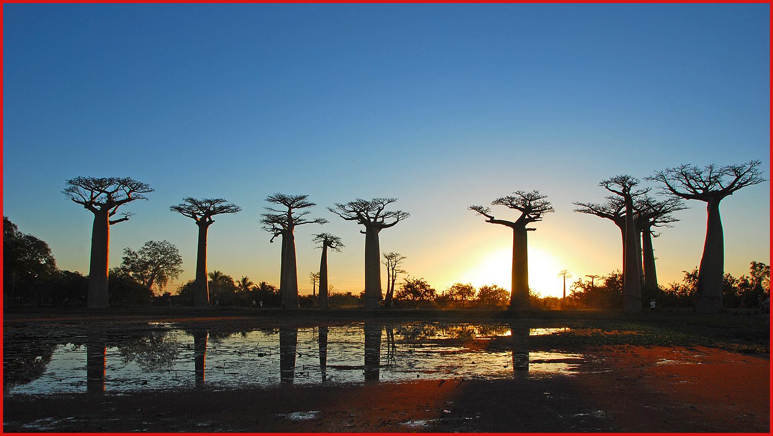 Alberi e dintorni storie di alberi il baobab l 39 albero for Alberi alto fusto nomi