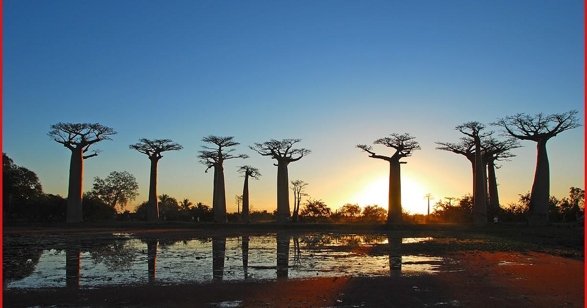 Alberi e dintorni storie di alberi il baobab l 39 albero - Colorazione pagine palma domenica ...