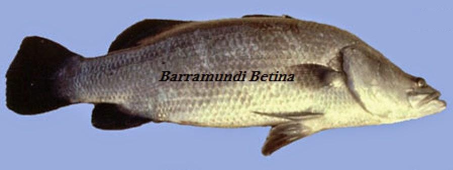 Ikan Barramundi Betina