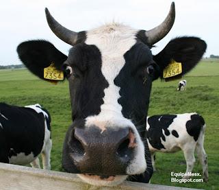 2 pessoas se beijando em um rosto de vaca, ilusões de ótica