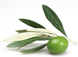 http://4.bp.blogspot.com/-WRdCftXaf4s/TrWXGOpg_XI/AAAAAAAAAK0/WqmJROcF7OE/s400/olive-leaf.jpg