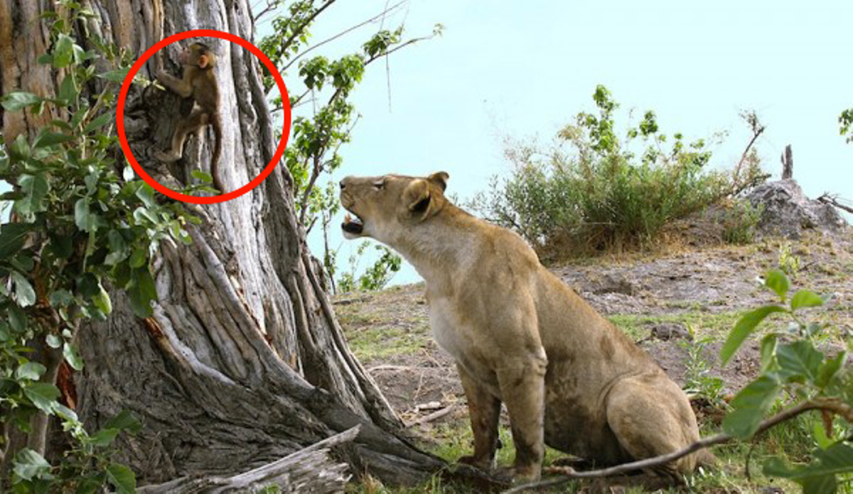After A Lioness Killed A Baboon, This Baby Was Left All ...