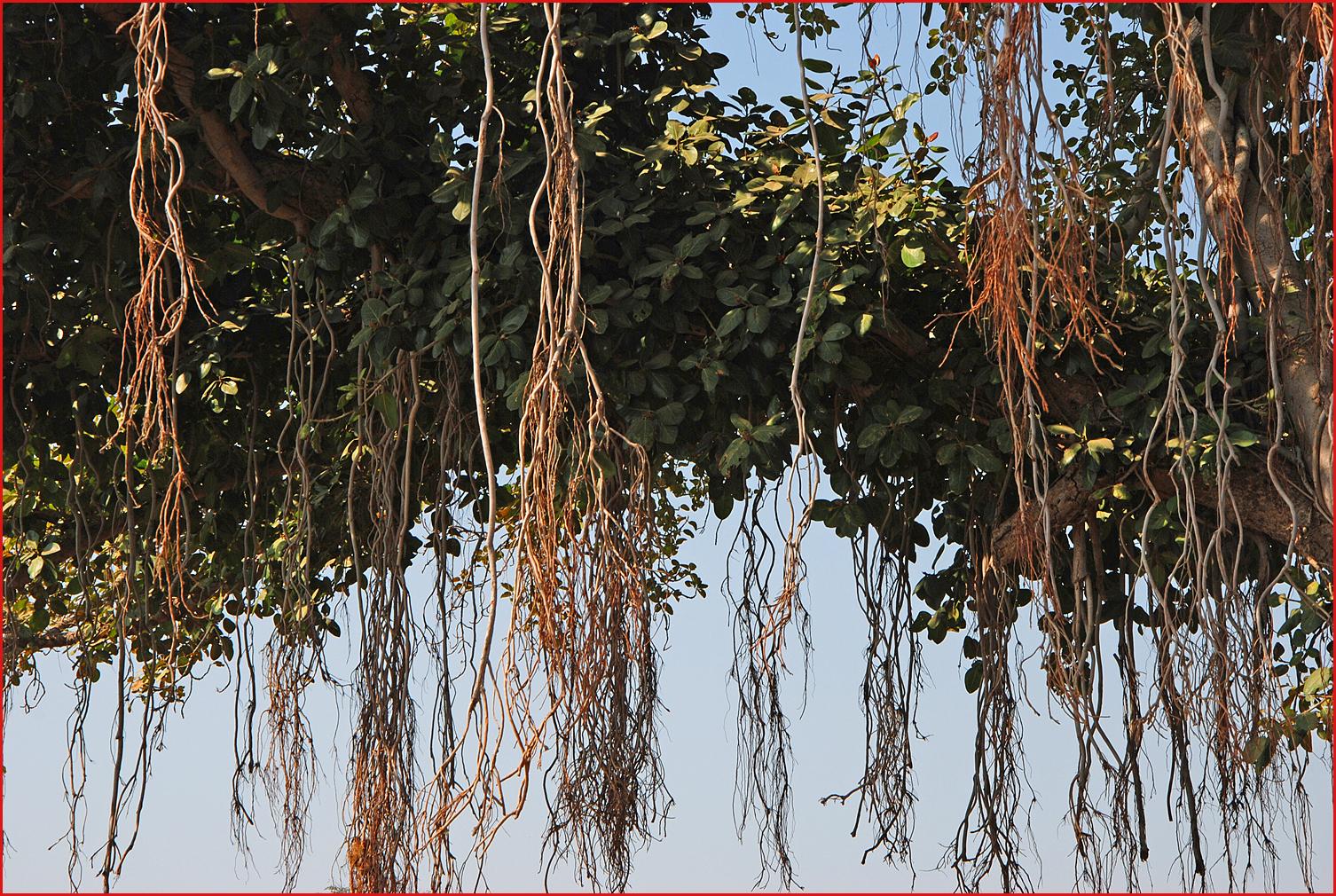 Alberi e dintorni alberi sacri dell 39 india il banyan - Radici palma ...