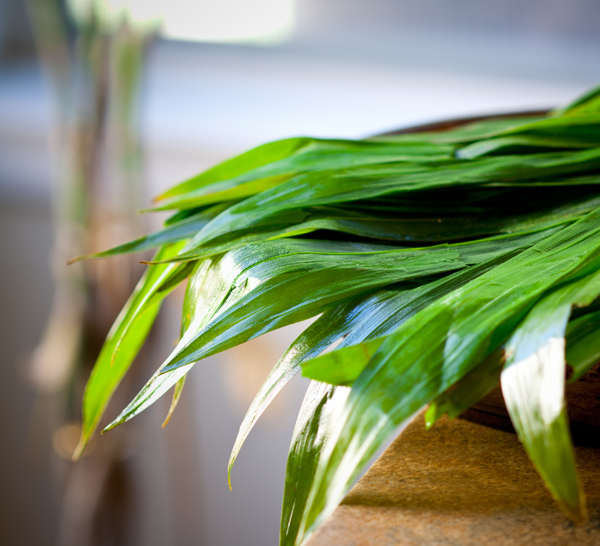 pandan screwpine leaves