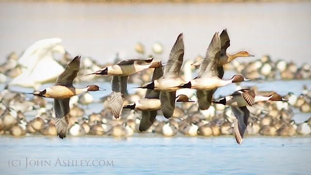 Northern Pintail courtship flock (c) John Ashley