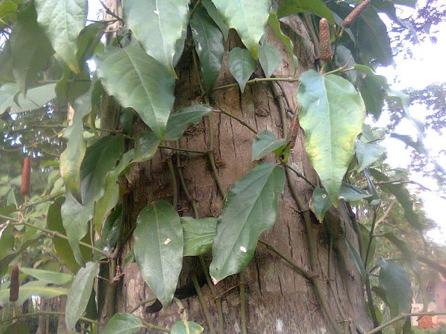 Morfologi Tanaman Cabe Jawa Sebagai Tanaman Herbal Alami