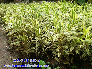 POHON SONG OF INDIA