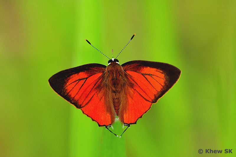 Wingspan of Adult Butterfly: 32-37mm. Caterpillar Local Host Plants: Mimosa ...