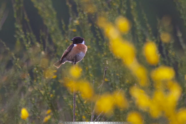 Roodborsttapuit in bloeiende Brem - Stonechat in flowering Broom - Saxiola torquata