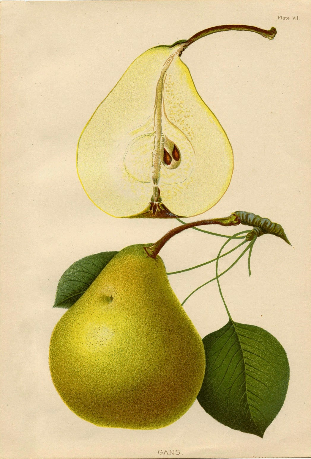 the daily glean eye catching botantical prints of fruit and