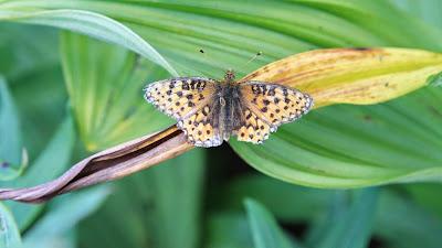 Fritillary on Veratrum leaf