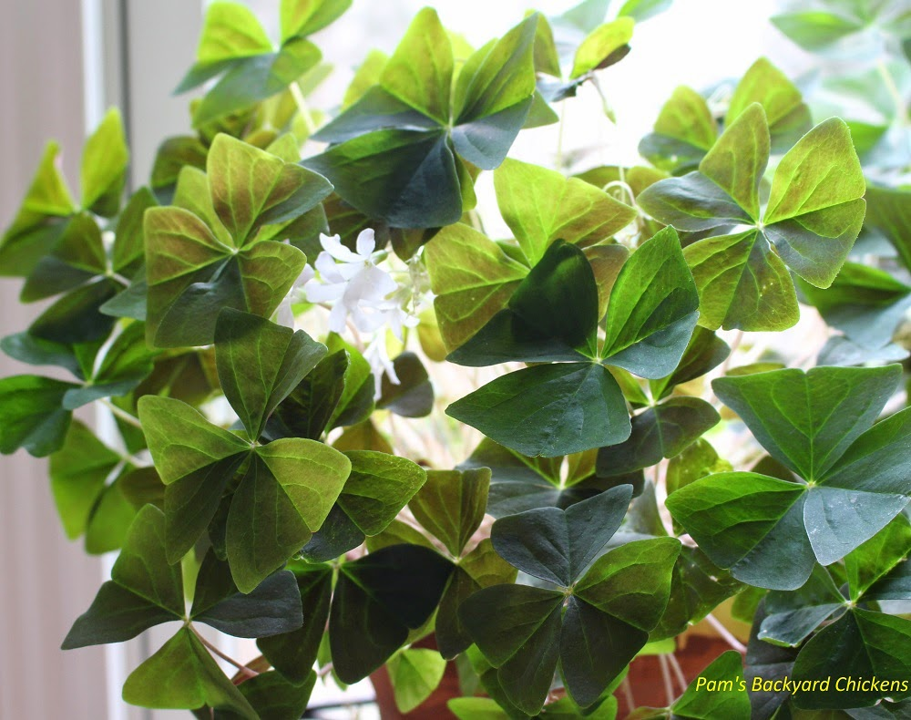 Pam 39 s backyard chickens how to care for a shamrock plant - Shamrock houseplant ...