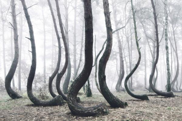 Pohon Melengkung Polandia