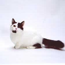 Munchkin Cat - Cat-Dachshund Munchkin Cat - Cat-Dachshund  Munchkin Cat  Kitten