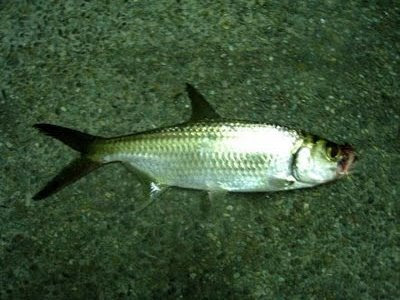 Indo-Pacific Tarpon also know as Hai Leng 大眼海鲢 or Ikan Bulan Caught at Woodland Jetty Fishing Hotspots was created to share with those who are interested in fishing on tips and type of fishes caught around Woodland Jetty Fishing Hotspots.