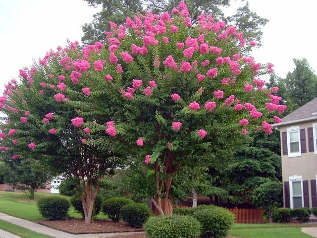 Allergena texas trees crape myrtle beautifully flowering trees crape myrtle trees crepe are the premier summer flowering tree of the southern us because it can with stand heat humidity drought and cold winters mightylinksfo