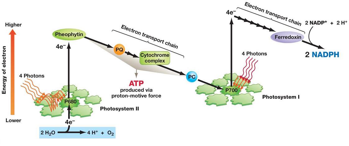 photosythesis animation Keywords: plant cells, photosynthesis, chloroplasts, photosystem, thylakoid membrane, atp production.