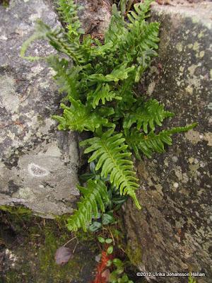 Stensöta Polypodium vulgare