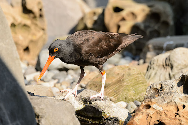 Black Oystercatcher at the Seattle Aquarium