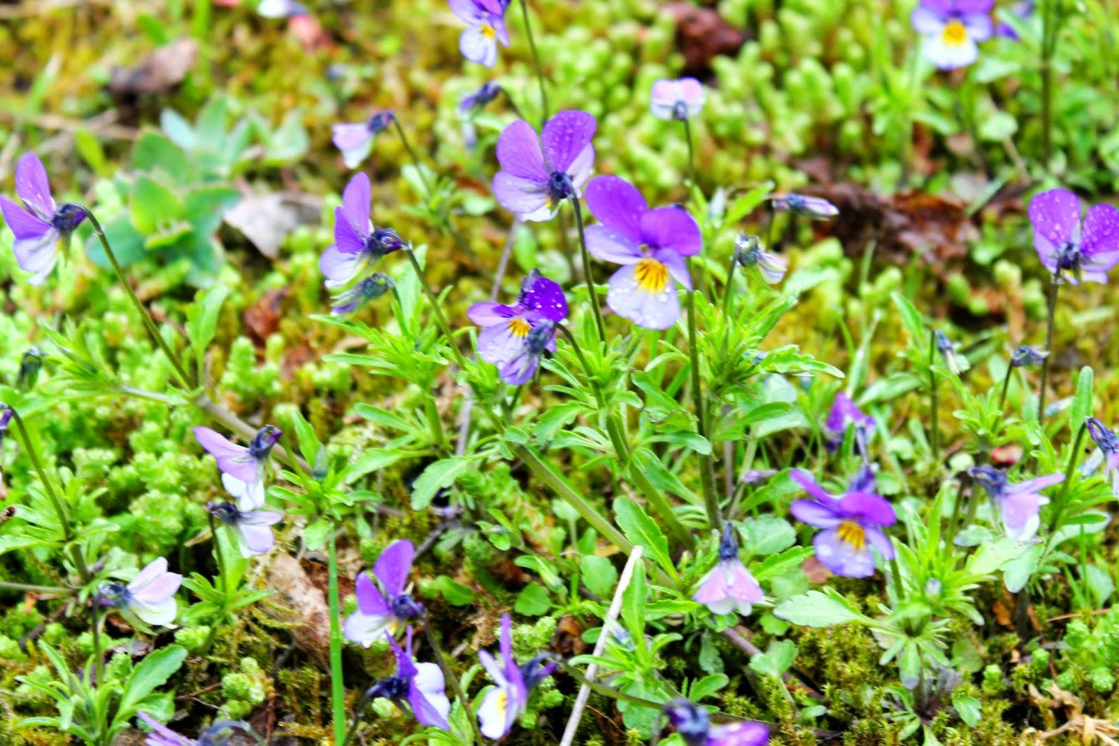 Violets and summer | Alinan kotona blog