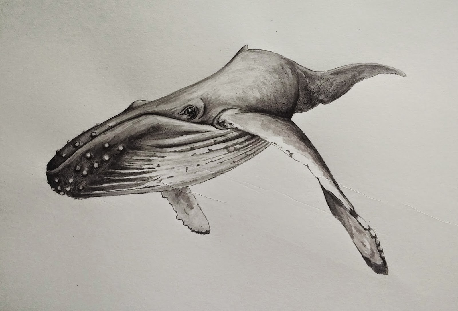 Sperm whale sketch drawing gallery