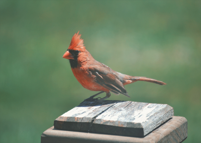 The Flying Clubhouse: Afternoon - Cardinal