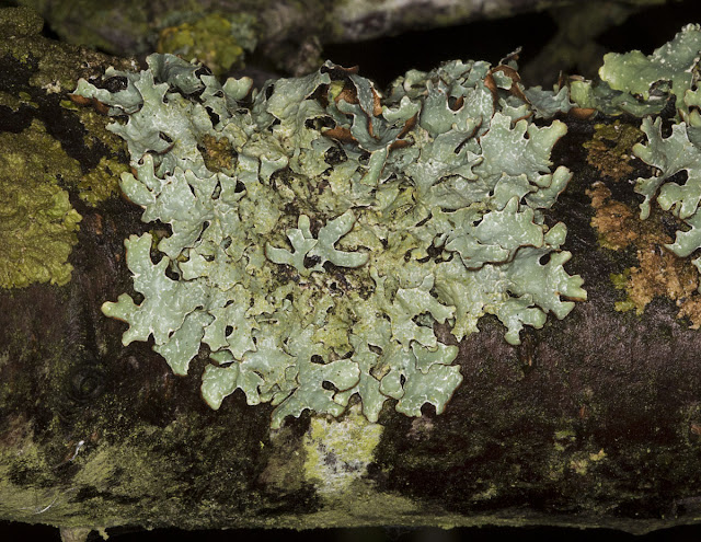 Lichen, Parmelia sulcata, on a tree.  Leaves Green, 3 December 2011.