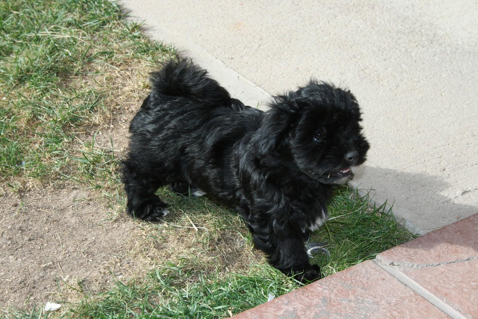 Black Havanese Puppies...