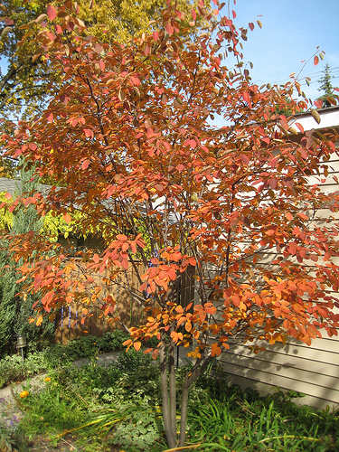 Autumn Brilliance Serviceberry Tree4
