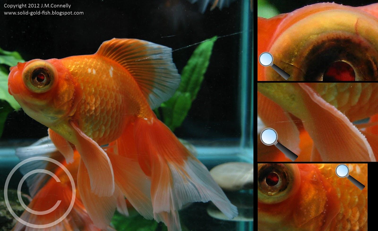 Goldfish breeding tubercles solid gold aquatics for Solid gold fish