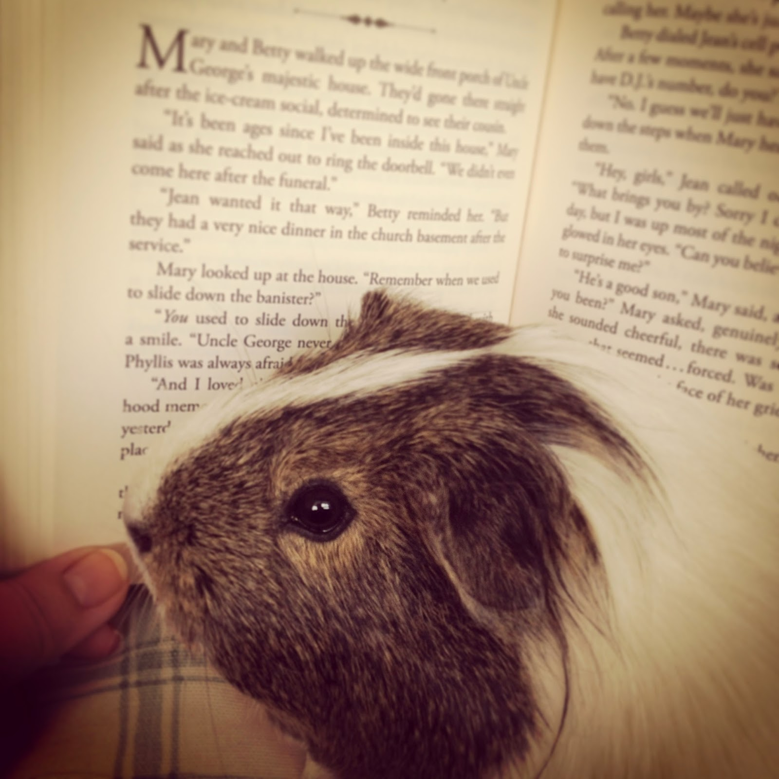 Wheek!  ✿ Buttercup reads a book ✿ The first featured guinea pig picture of the week!
