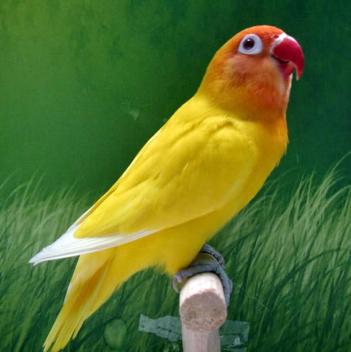 Gambar Cara Merawat Burung Lovebird Lutino
