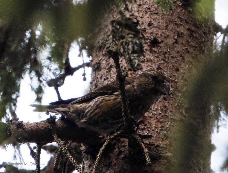 Red Crossbill in the Bavarian Forest