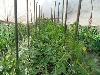 помидоры под тентом