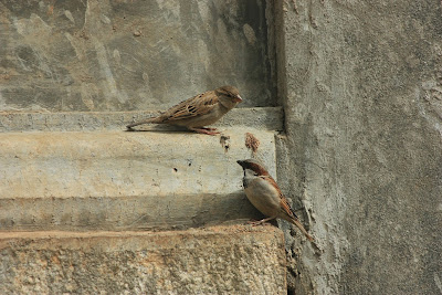 A pair of house sparrows at Biligiri Ranganathaswamy Temple, BR Hills, Karnataka, India