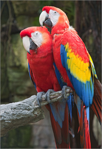 BIRDS FOR SALE IN THE UK: SCARLET MACAW PARROTS FOR SALE £650