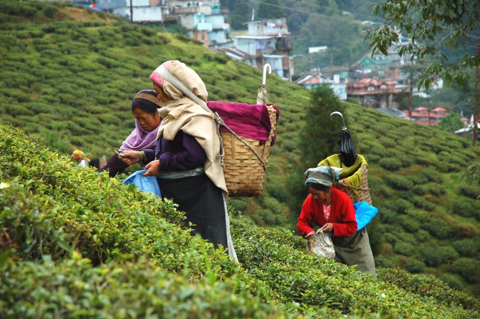 Bien vivre nella terra del t ai piedi dell 39 himalaya - I giardini del te ...