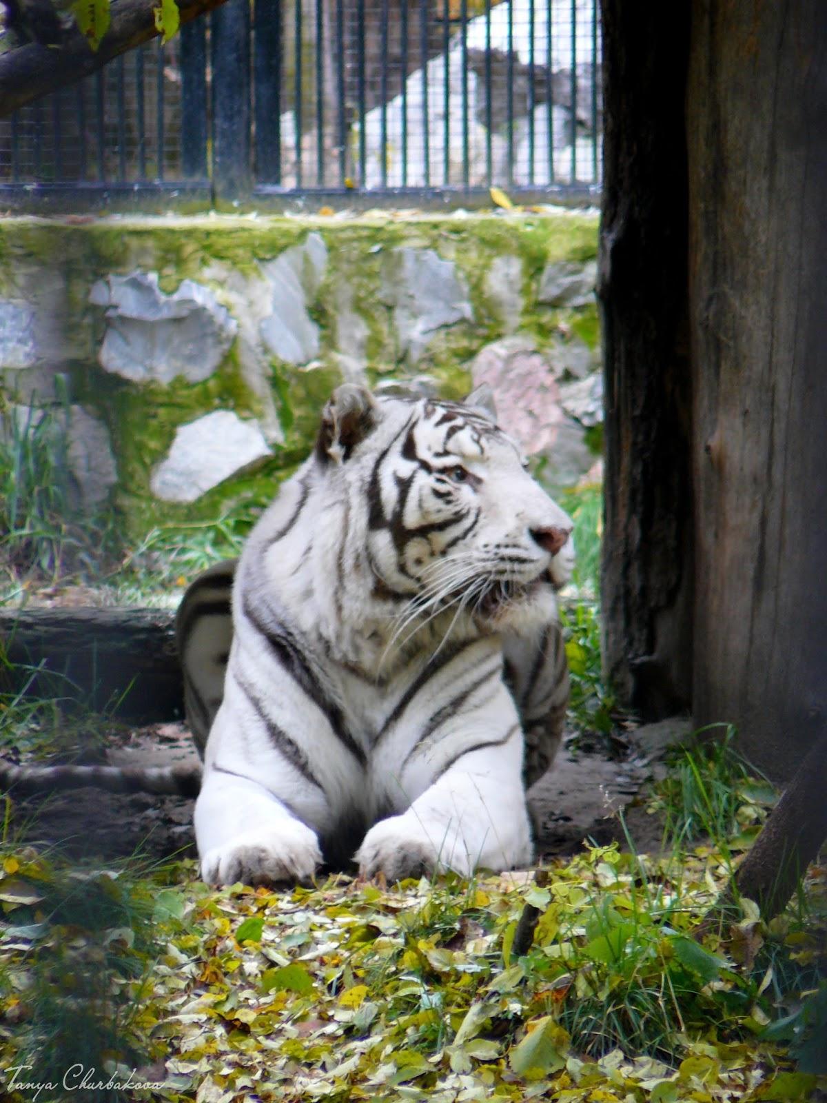 бенгальский тигренок