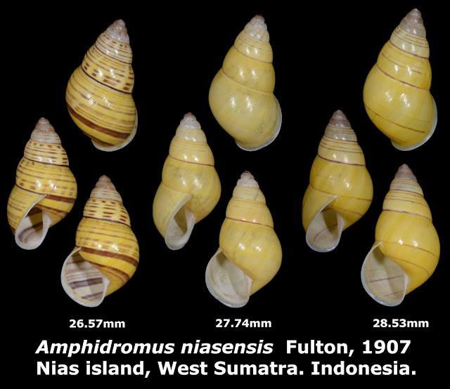 Amphidromus niasensis 26.57 to 28.53mm