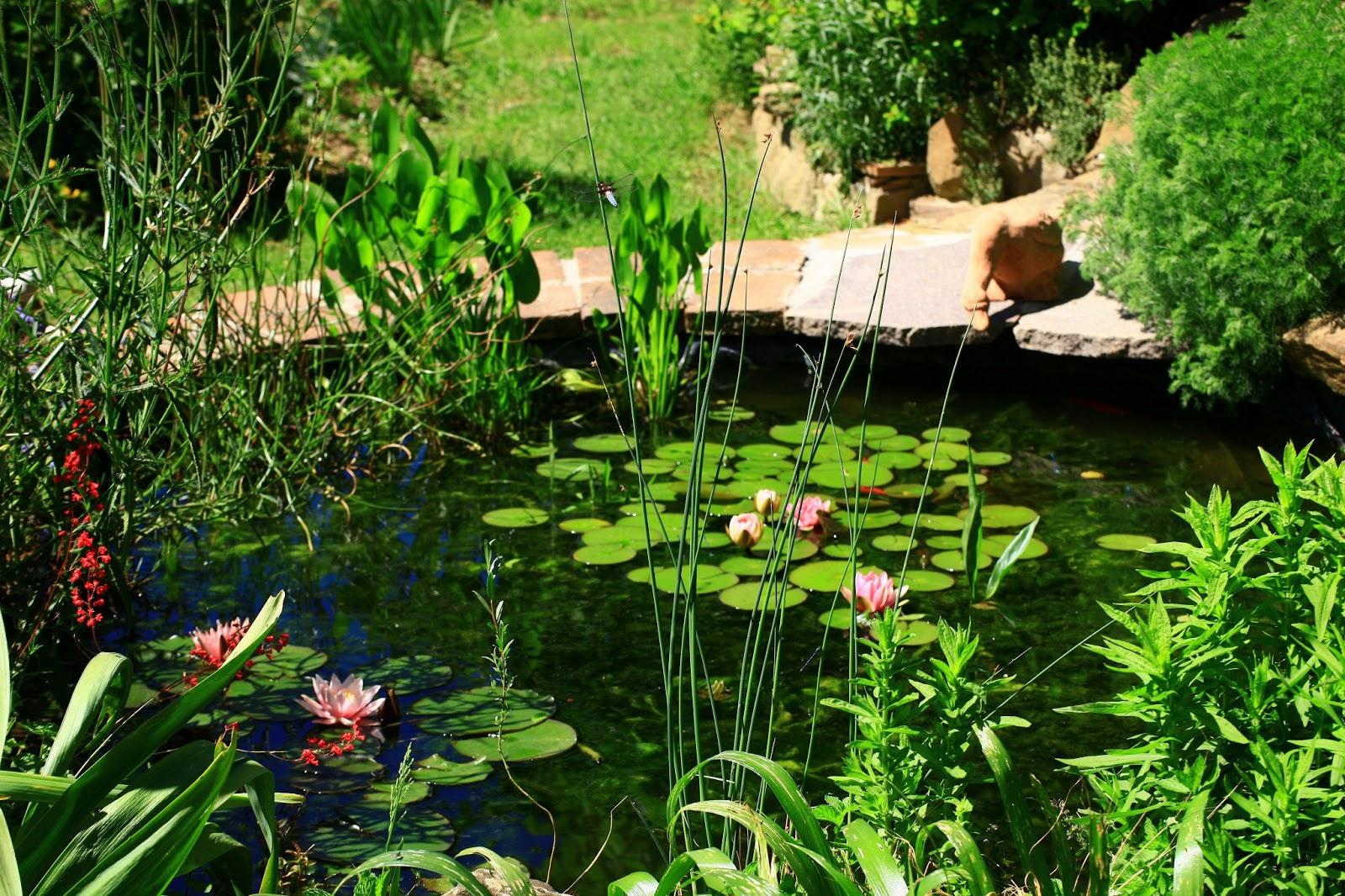 Iris libellule un giro intorno e dentro il laghetto for Piante da laghetto ossigenanti