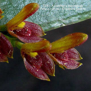 Acianthera macropoda  do blogdabeteorquideas