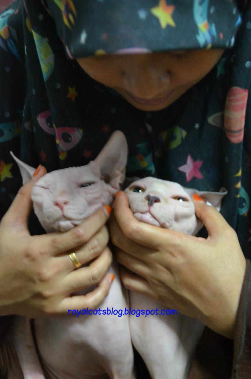 Royal Cat S Blog Tips Penjagaan Kucing Tak Berbulu Sphinx