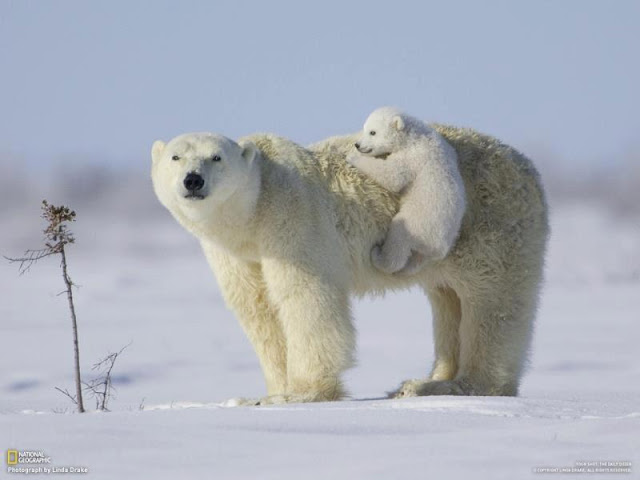 دب يلعب مع ابنه
