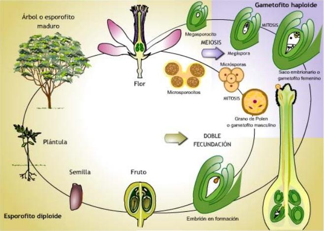 se une a los núcleos polares formando el endosperma de esta forma se