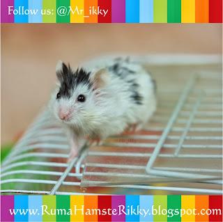 Umur Maksimal Hamster, Kapan Hamster Mati