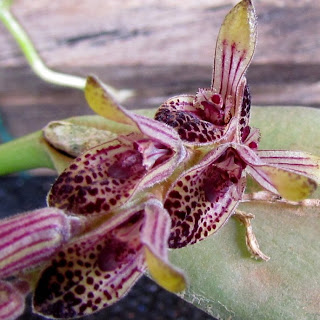 Acianthera pubescens variedade 3 do blogdabeteorquideas