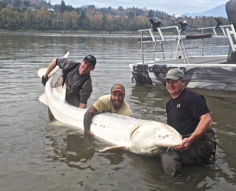 Mondo Pesca News Canada Catturato Gigantesco Storione Albino