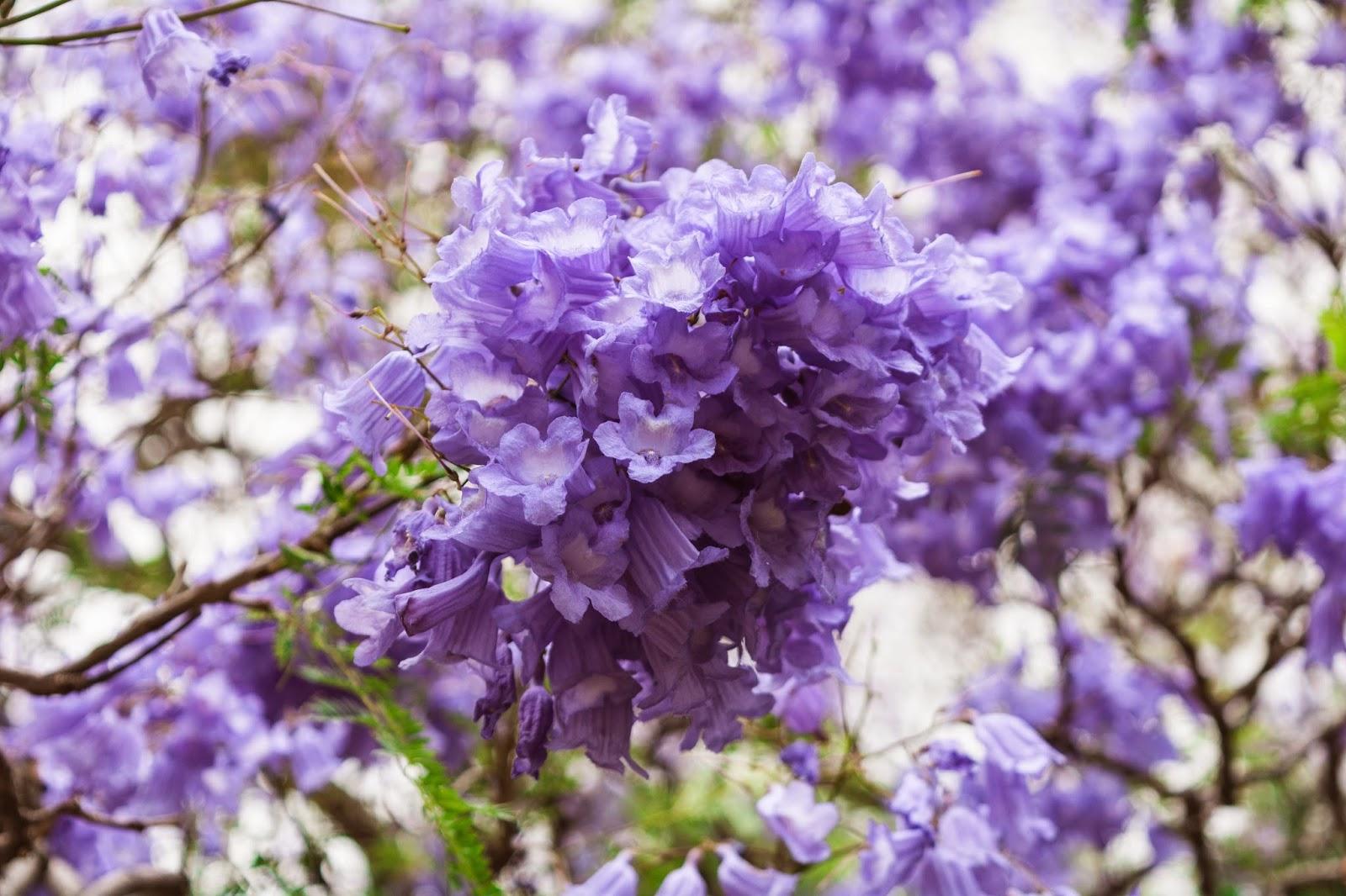 цветущая джакаранда