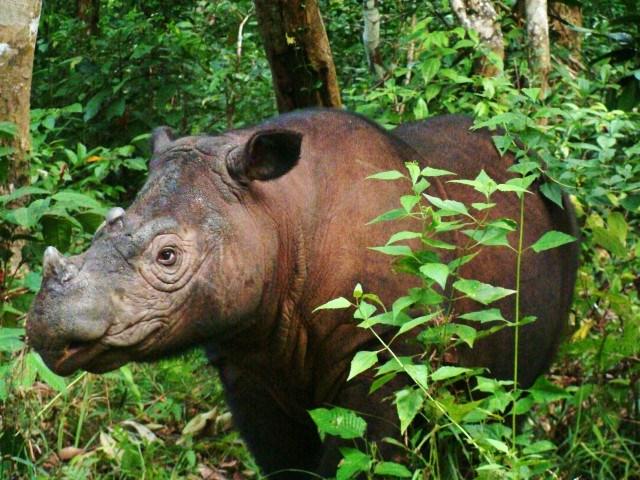 Eh Ada Badak Sumatera di Kalimantan
