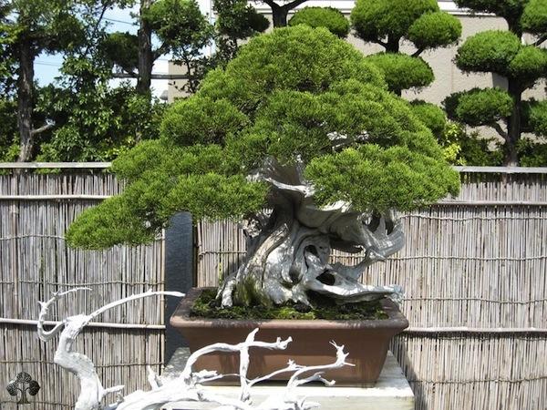 Pix grove greatest bonsai trees for Famous bonsai trees